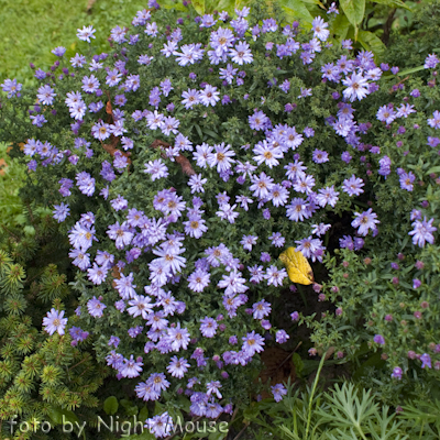 Aster Lady in Blue
