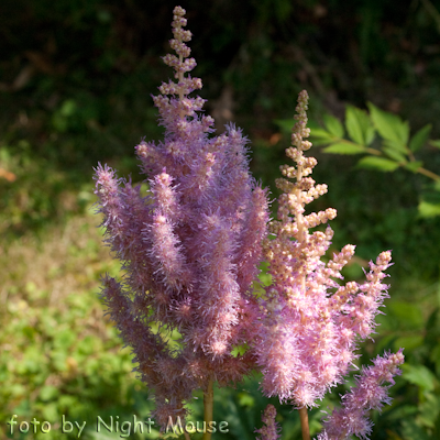 Astilbe Stick and Stones