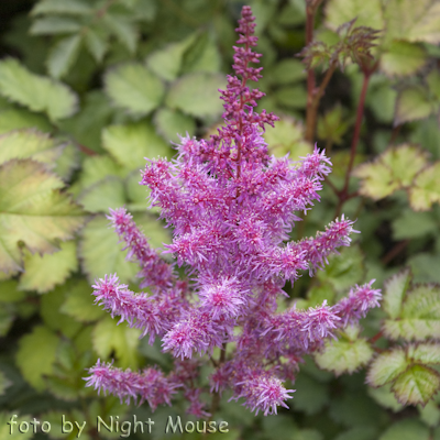 Astilbe To Have and to Hold