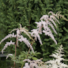 Astilbe Betsy Cuperus