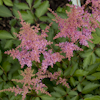 Astilbe Country and Western