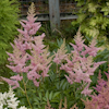 Astilbe Elizabeth Bloom