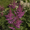 Astilbe Love And Pride