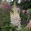 Astilbe Milk And Honey