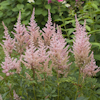 Astilbe Peach and Cream