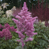 Astilbe Rhythm And Blues