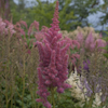 Astilbe Stand And Deliver