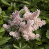 Astilbe Tiny Torches Sugaberry