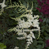 Astilbe White Sensation