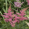 Astilbe Younique Cerise