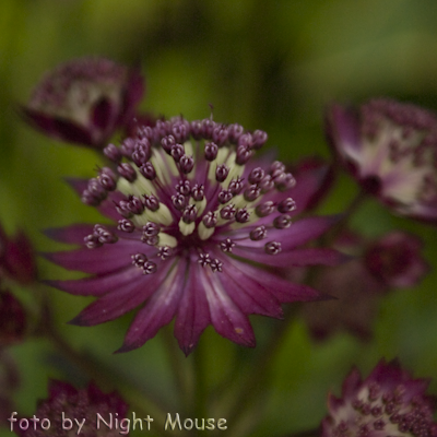 Astrantia Dark Shiny Eyes