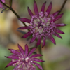 Astrantia Ruby Star