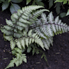 Athyrium Red Beauty