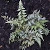 Athyrium Ursula`s Red