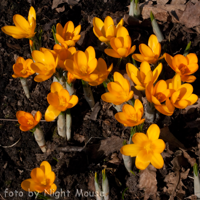 Crocus Golden Yellow