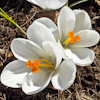 Crocus Janna d`Arc