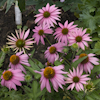 Echinacea Kim`s Knee High