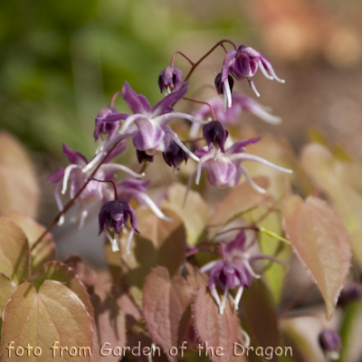 Epimedium Dark Beauty