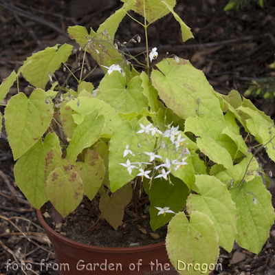 Epimedium Wudang Star