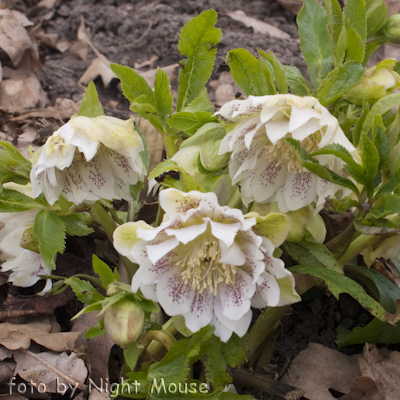 Helleborus Spring Dream