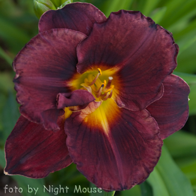 Hemerocallis Evening Enchantment