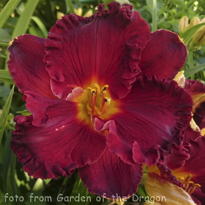 Hemerocallis Paint the Town Red