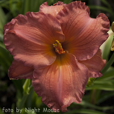 Hemerocallis Smoky Mountain Autumn