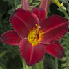 Hemerocallis Angel Fire