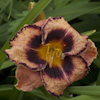 Hemerocallis Awesome Blossom