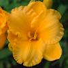 """Немного растений из """"Сада Дракона"""" Buttercup_parade_l"""