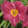 Hemerocallis Charles Johnston