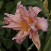 Hemerocallis Double Pompon