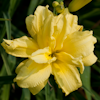 Hemerocallis Double Riverwye