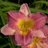 Hemerocallis Final Touch