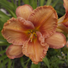 Hemerocallis Forsyth Wrinkles And Crinkles