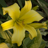 Hemerocallis Green Dragon