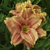 Hemerocallis Happy Hooligan