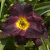 Hemerocallis Hawaiian Nights