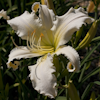 Hemerocallis Heavenly Angel Ice