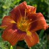 Hemerocallis Holiday Delight