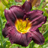Hemerocallis Killer