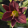 Hemerocallis Little Business