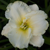 Hemerocallis Moonlight Caress