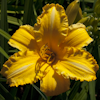 Hemerocallis Olympic Showcase