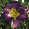 Hemerocallis Royal Prestige