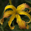 Hemerocallis Spindazzle