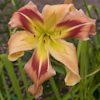Hemerocallis Square Dancers Curtsy