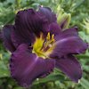 Hemerocallis Strutter`s Ball