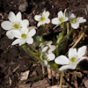 Hepatica White Forest