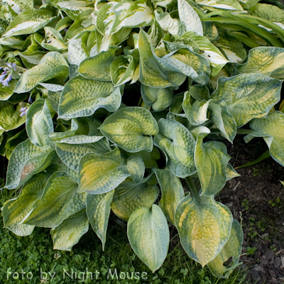 Hosta Blue Shadows